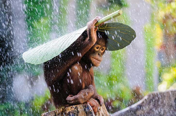 Best-Travel-Umbrella-Orangutan-in-Rain-Andrew-Suryono