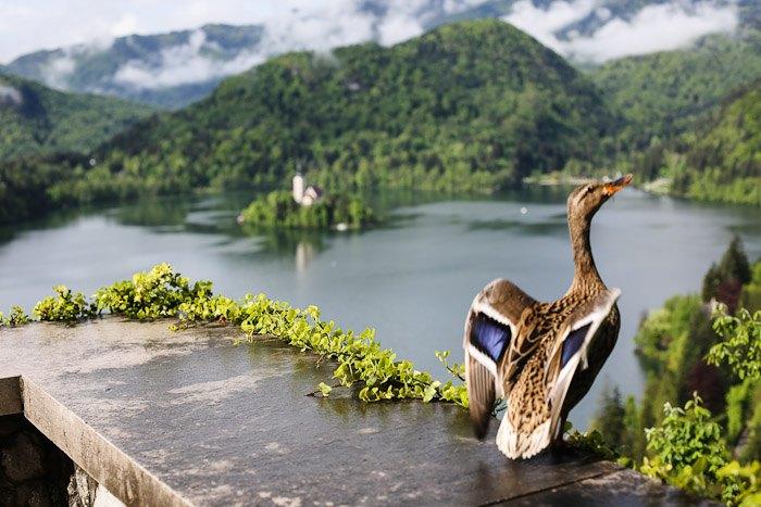 Eastern Europe Lake Bled Travel Tourist Scenic Hiking Church Island Bird Mountain Fog Mist Landscape