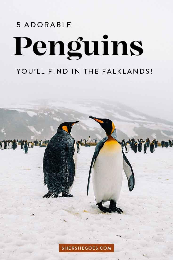 falkland island penguin species