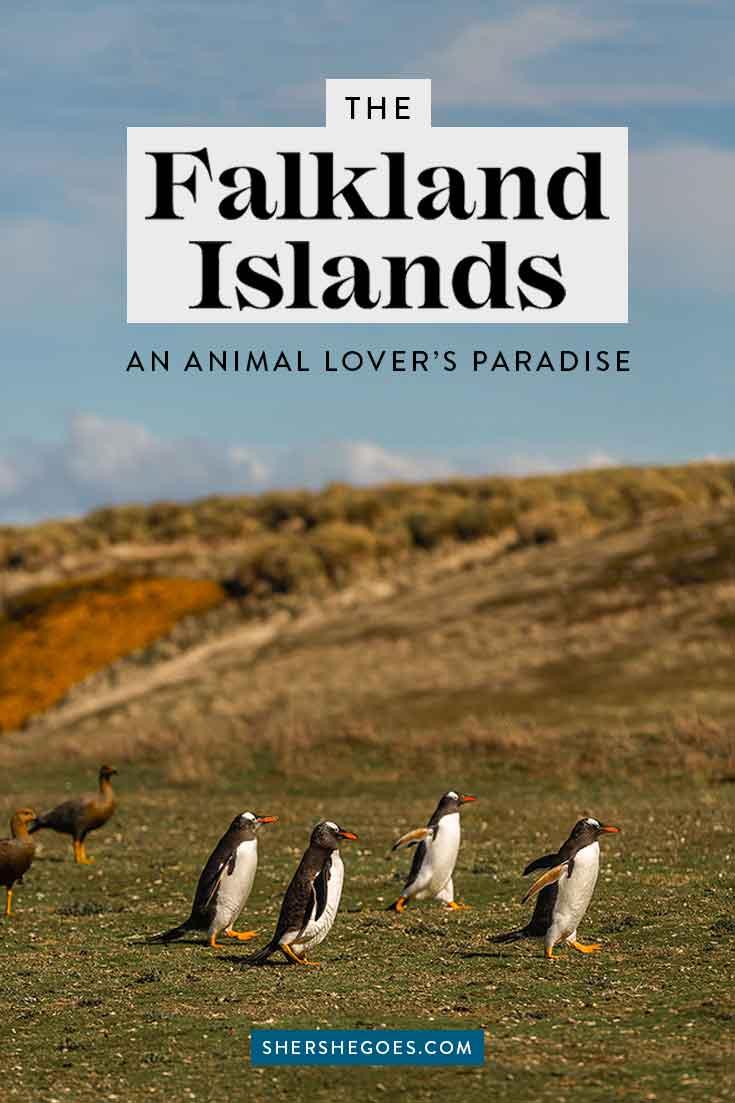 penguins-in-the-falkland-islands