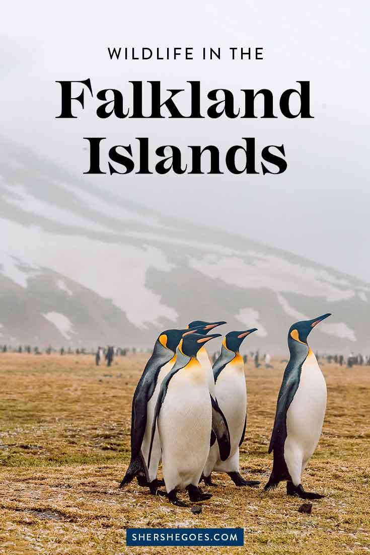 penguins-in-the-falklands